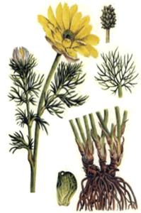 Adonis-goritcvet