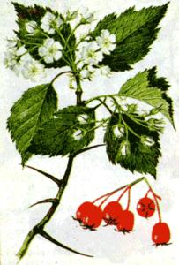 plody-bojaryshnik