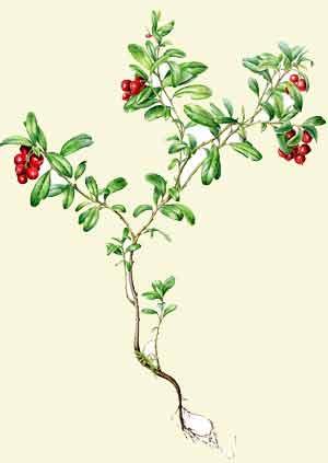 Брусника гербарий