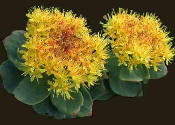 Растение золотой корень