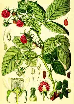 малина гербарий
